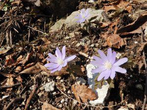 キクザキイチゲ(紫)