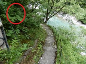 大露天風呂までの通路の「ササユリ」スポット