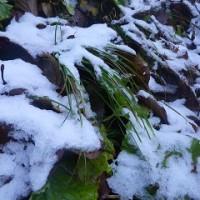 雪をかぶった葉っぱ