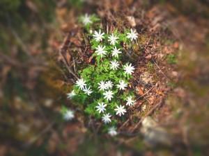 いちげの花