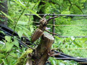 木に立つミヤマクワガタ